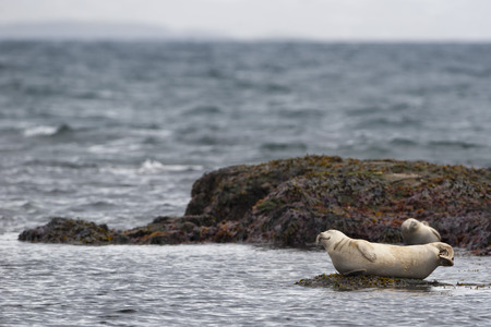 sea otter: A seal relaxing on a rock in  Iceland