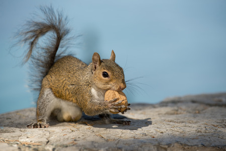 A grey squirrel looking at you while holding a nut  in the blue sky background photo