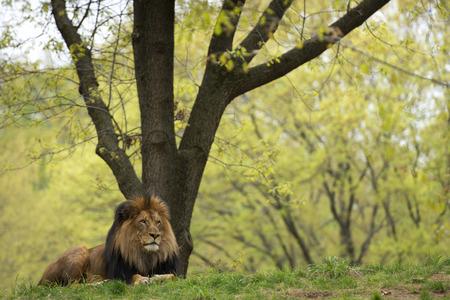 savana: portrait of a male lion on forest savana background