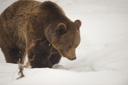 Isolated black bear brown grizzly walking on the snow  photo