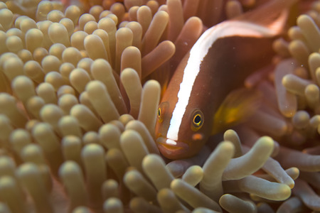 An isolated clown fish hiding into an anemone with a shrimp photo