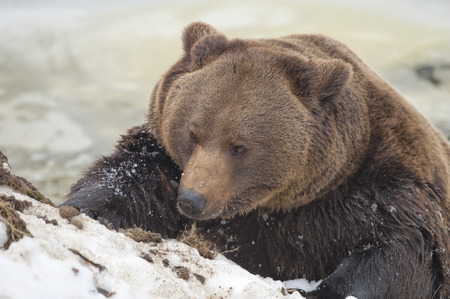 Black bear brown grizzly playing in the ice water photo