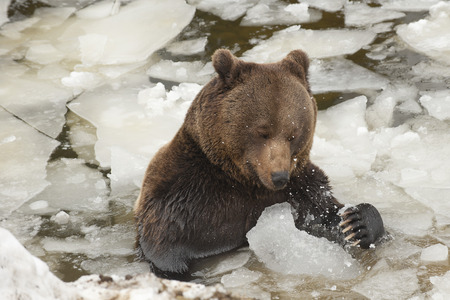 A black bear brown grizzly portrait in the snow while eating and playing with ice photo