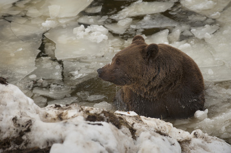 A black bear brown grizzly portrait in the snow while swimming in the ice photo