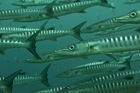 barracuda: Inside a school of barracuda in Sipadan, Borneo, Malaysia Stock Photo