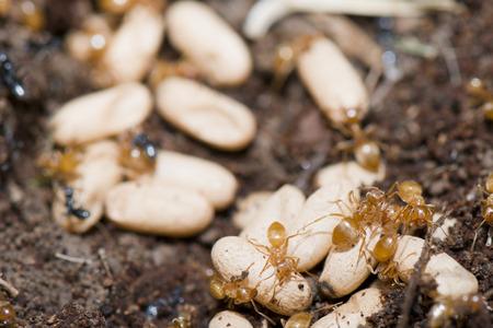ameisenhaufen: Yellow Ameisen innerhalb Ameisenhaufen, w�hrend Sie Eier