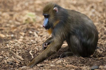 mandrill: Mandrill Monkey close up portrait