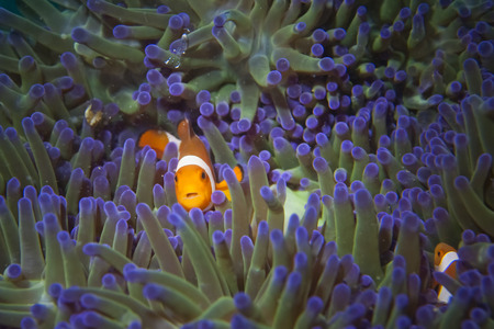 clown fish: A clown fish portrait  Stock Photo