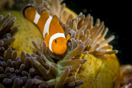 clown fish: A clown fish while looking at you portrait  Stock Photo