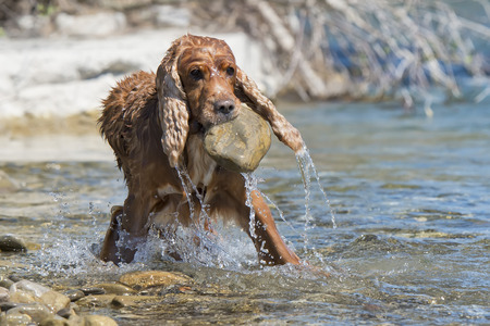 Isolated english cocker spaniel while holding a stone near river photo