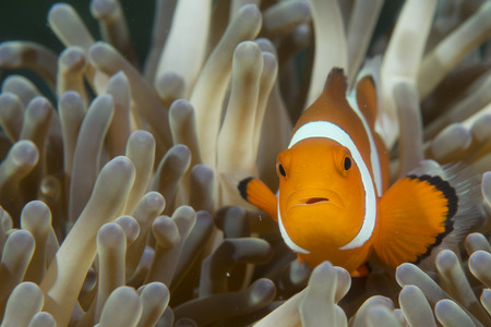 Een geïsoleerde clownvissen op zoek naar jou in Cebu Filippijnen Stockfoto