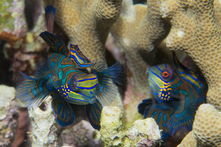 dragonet: Mandarin fish on hard coral background in Philippines