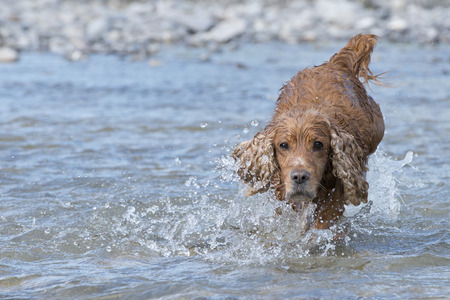 Isolated english cocker spaniel while playing in the river photo