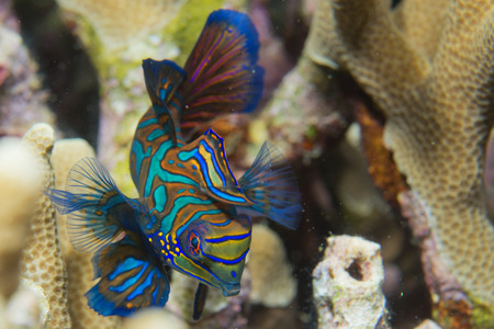 하드 산호 배경에 만다린 물고기 스톡 콘텐츠