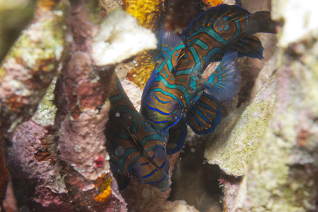 Mandarin fish on hard coral background in Philippines photo