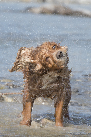 Isolated english cocker spaniel while playing in the river Stock Photo