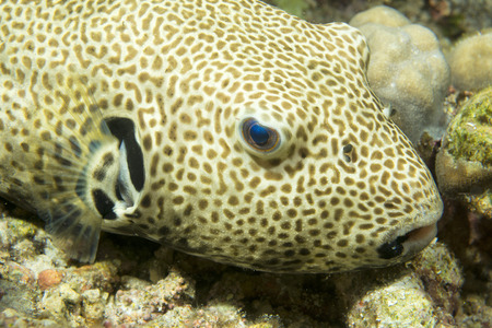A puffer fish close up portrait in Philippines photo