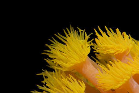 polyps: Yellow coral polyps in the black background in Cebu Philippines