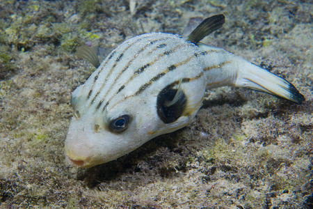 puffer: A puffer fish in Philippines Stock Photo