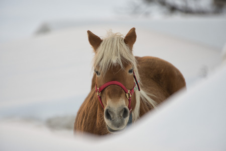 Horse portrait on the white snow background photo