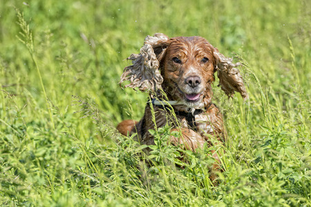 dog cocker spaniel while running on green grass background photo