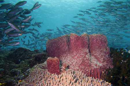A Giant sponge in the blue background Raja Ampat Papua, Indonesia photo
