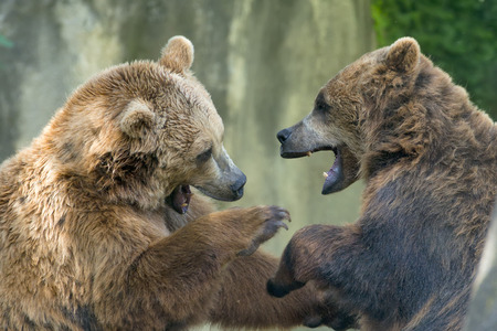 Two black grizzly bears while fighting close up portrait Imagens - 31622089