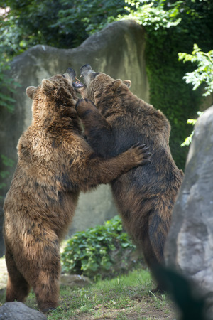 bear lake: Two Black grizzly bears while fighting