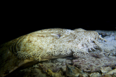 Wobbegong rare carpet shark in Indonesia on the black background Imagens - 31622356