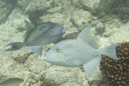 Trigger fish underwater close up portrait photo