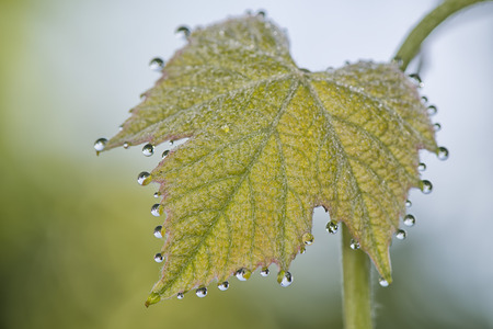 grapple: Grapes leaf with morning dew water bubbles Stock Photo