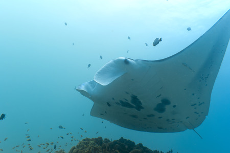 An isolated Manta in the blue background photo