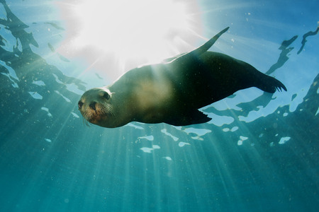 galapagos: sea lion seal coming to you underwater