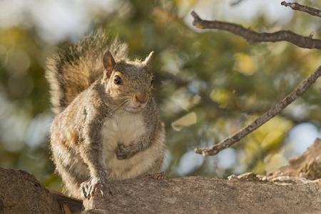 Isolated grey squirrel  photo