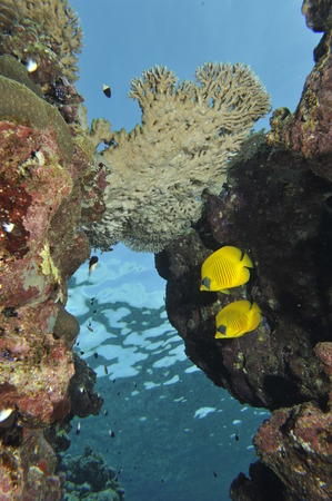 napoleon fish: Two butterly angel fish yellow and blue in the reef background
