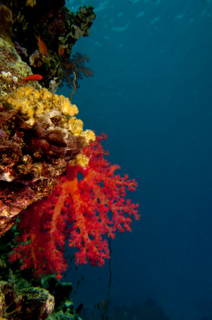 A soft coral in the black background in the blue reef background photo