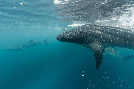 Whale Shark portrait underwater in Papua Imagens - 31622875