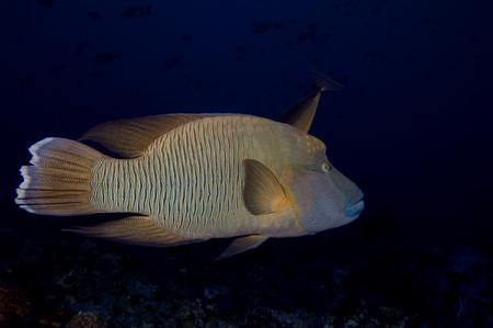 A napoleon fish  in the black background photo