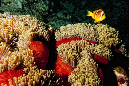 Clown fish in the red and brown anemone photo