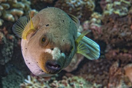 colorful ball puffer fish portrait  photo