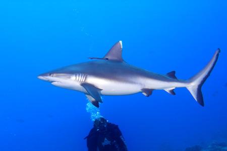수중 공격 준비 회색 상어의 턱은 초상화를 닫습니다 스톡 콘텐츠