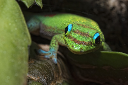 animal mating: green red and blue Gold dust day gecko from hawaii while eating jam