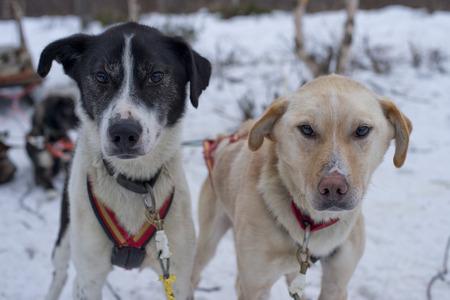 esquimales: retrato mientras trineo con perros husky en Laponia Foto de archivo
