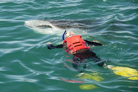 Whale Shark close up with a snorkelist photo
