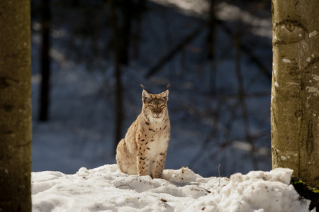 An isolated Lynx in the snow background  in the beautiful light photo
