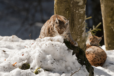 Two Lynx in the snow background  photo