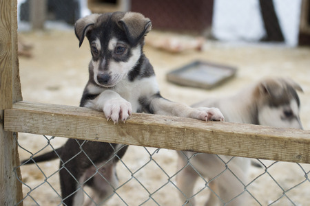 puppy two months old husky sled dog portrait  photo