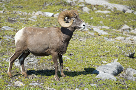 rocky mountain bighorn sheep: Big Horn Sheep Ovis canadensis portrait on the mountain background