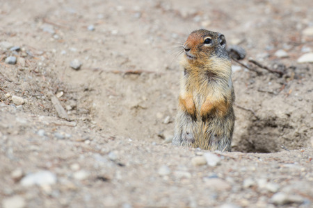 Ground squirrel portrait photo