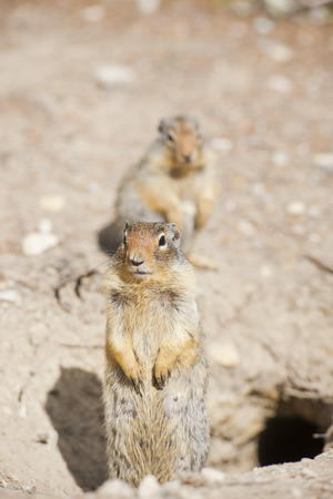 Ground squirrel portrait while looking at you photo